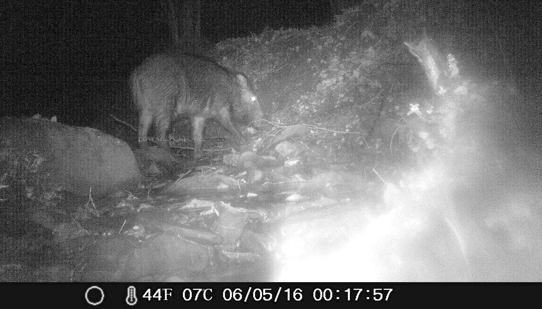 wild boar infrared
