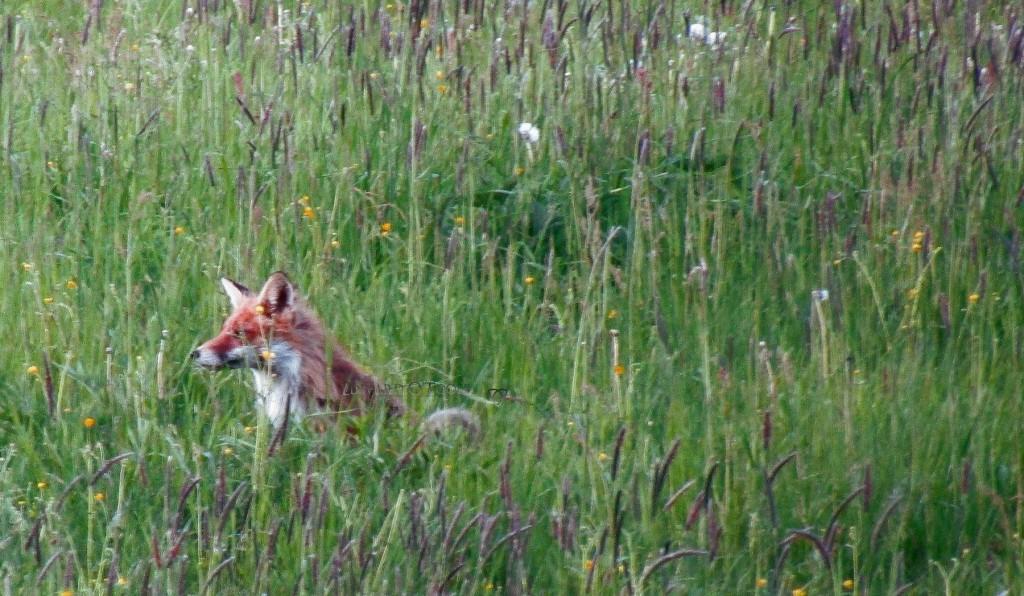 foxgrass