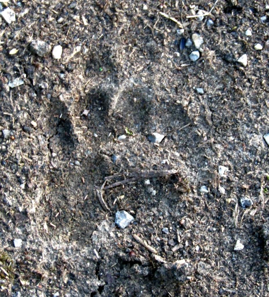 badger track