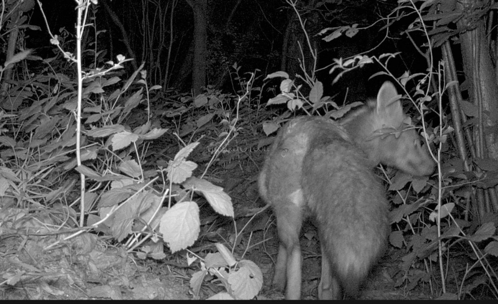 fox infrared