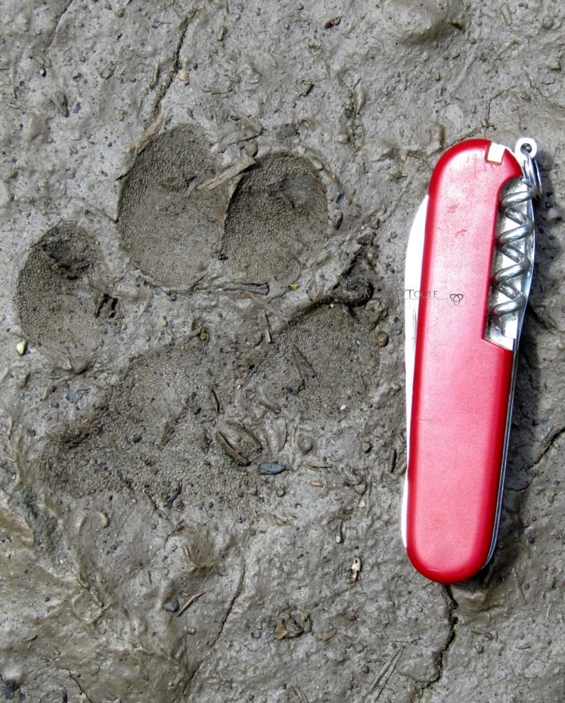 eurasian lynx track