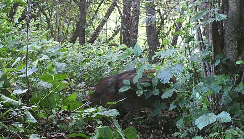 wild boar squeaker