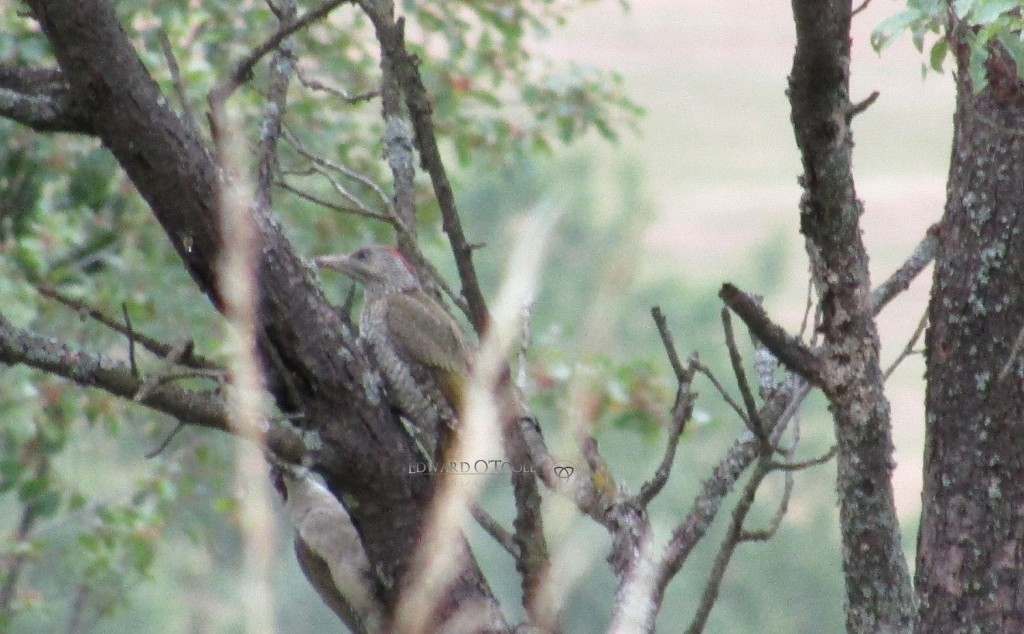 greywoodpecker