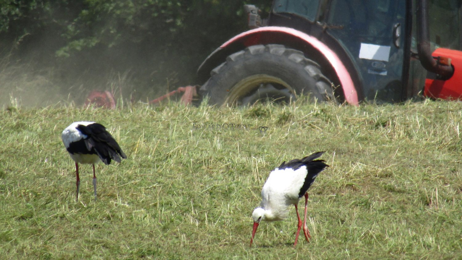 storks following tractor