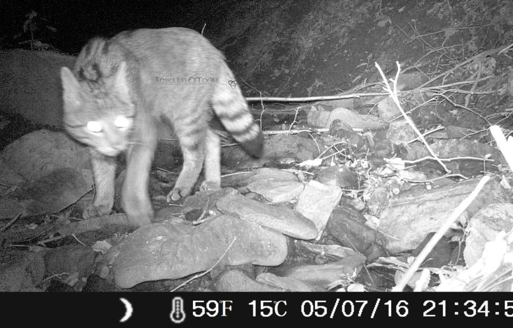 wildcat1