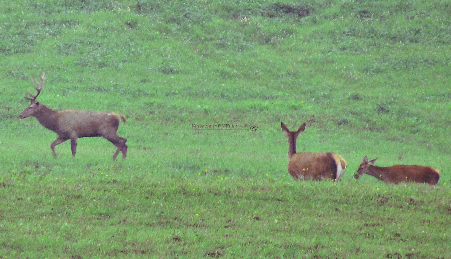 carpathian red deer herd