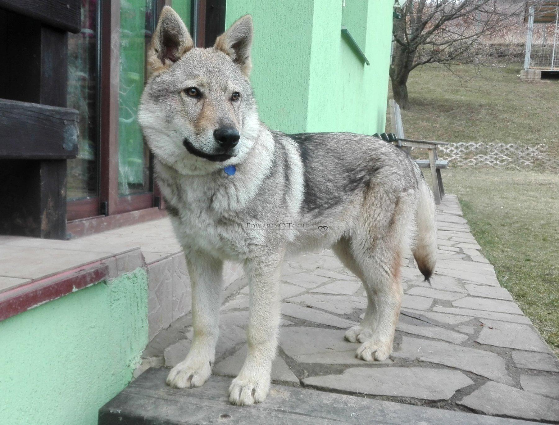 czechoslovakwolfdog1