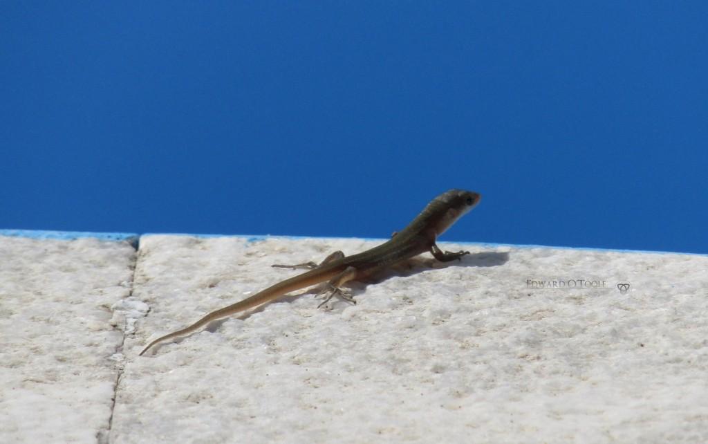 lizardpool