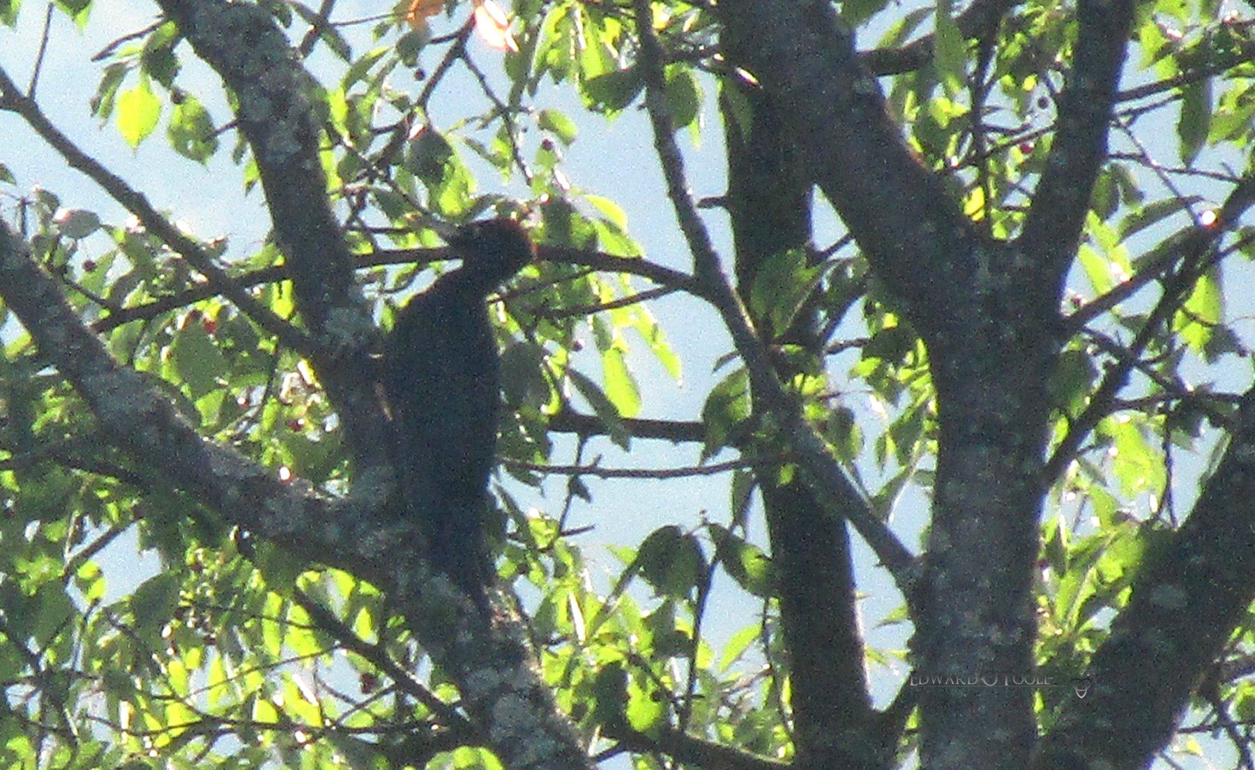 blackwoodpecker2