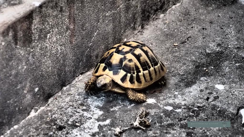 croatia tortoise