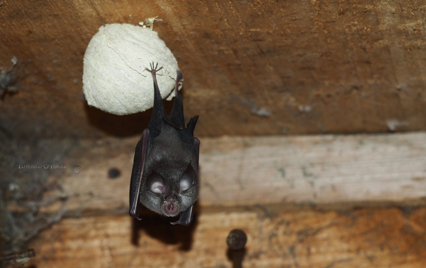 bat on wasp nest