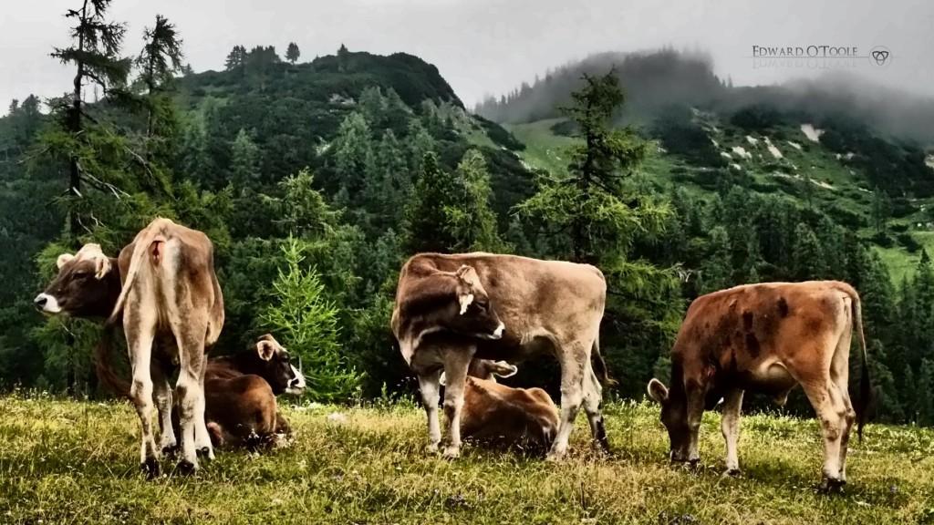 alpinecows