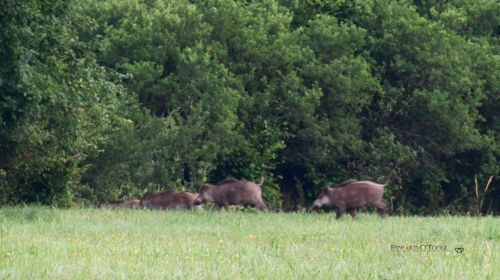 boarsrunning