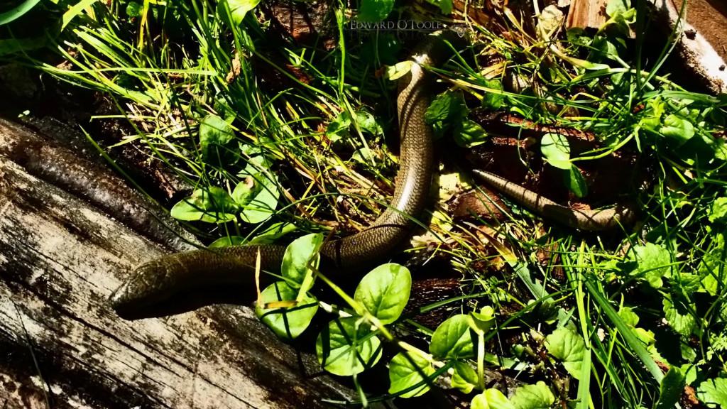gardenslowworm