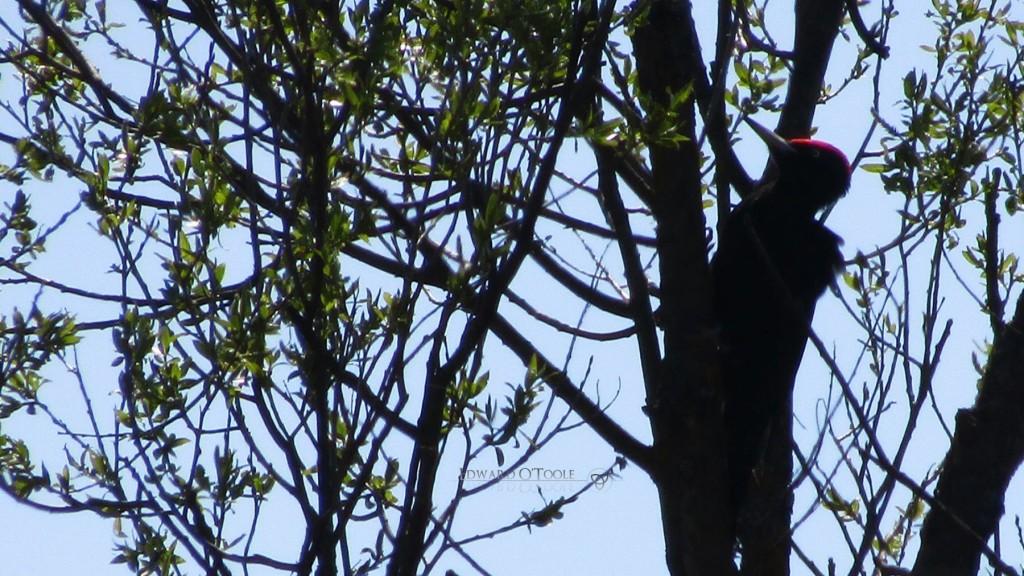blackwoodpeckerspring