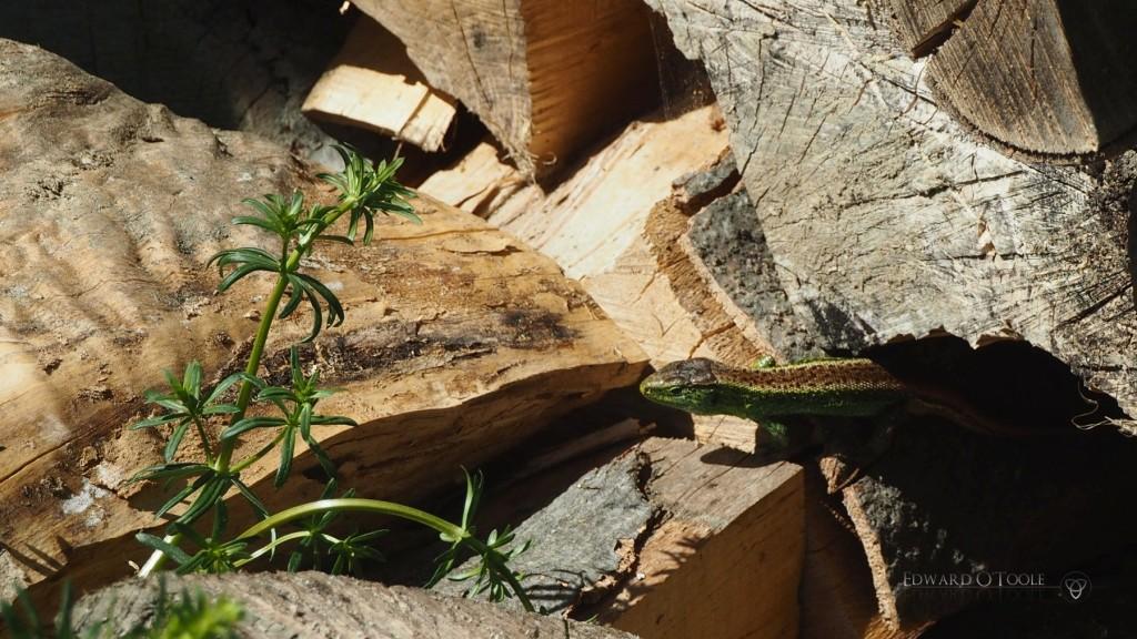 lizardinwoodpile