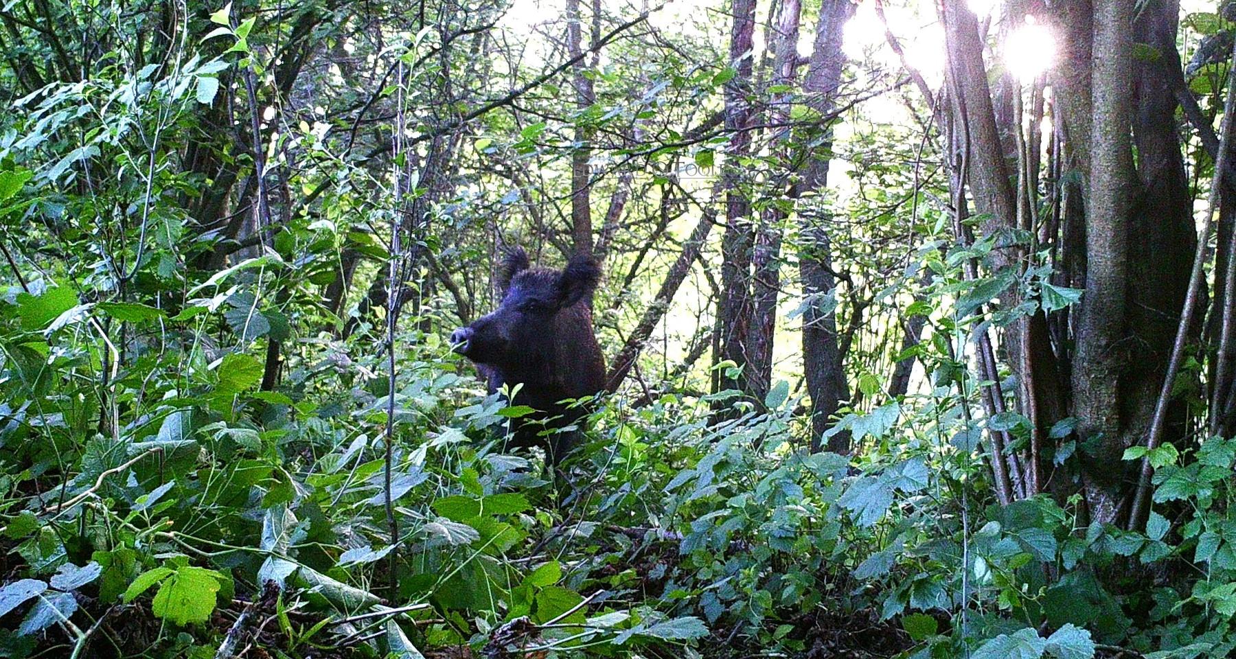 boar carpathian forest