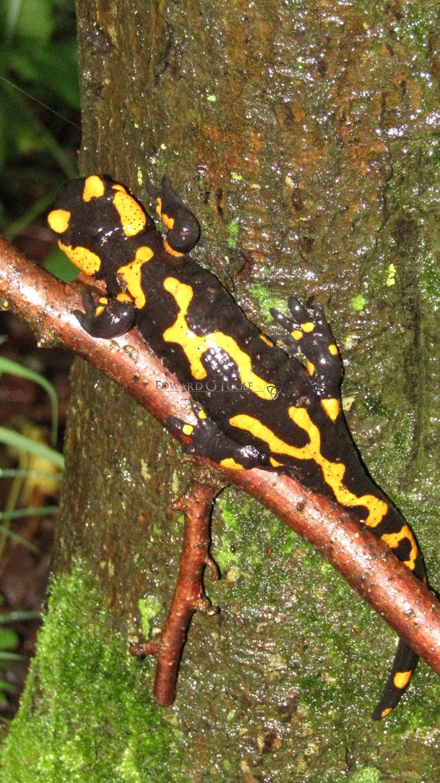 firesalamander3