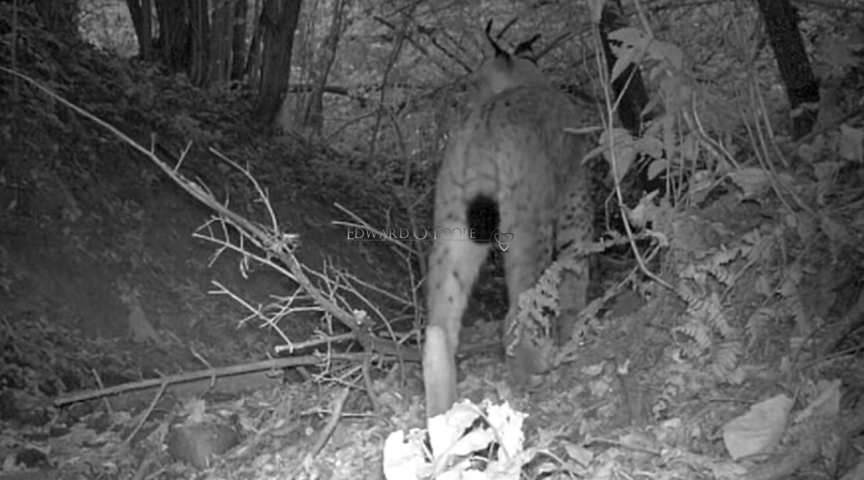 eurasian lynx infrared